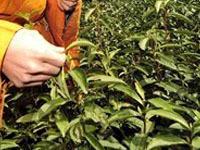 Опасный для здоровья канцероген обнаружен китайском чае.