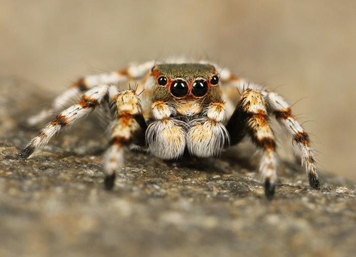Пауки слышат звуки летающих насекомых лапами