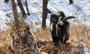 Тигр Амур не вынес наглости козла Тимура. ВИДЕО
