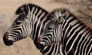 Зоологи развеяли миф о камуфляжном назначении чёрно-белых полосок зебры