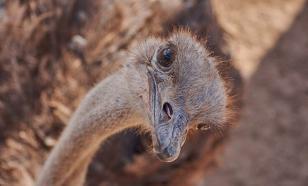 Любопытный эму-воришка из Австралии становится популярным в Сети