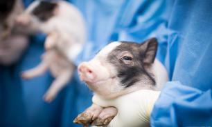Янг Лухань: мы совершили прорыв в трансплантации органов животных