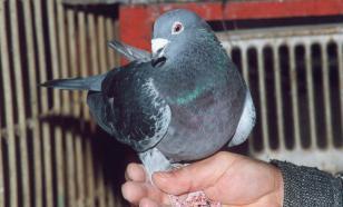 Контрабандист провозил голубей в штанах