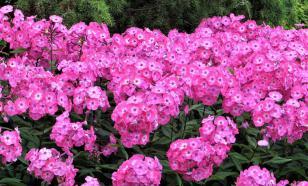 Флоксы: выращивание и уход за цветами