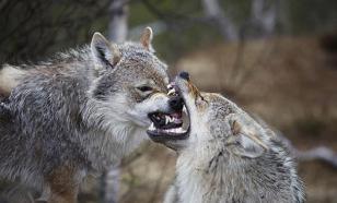 В центре Калуги волки загнали мужчину на дерево