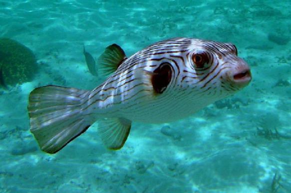Смертельный токсин рыбы фугу является защитой от стресса
