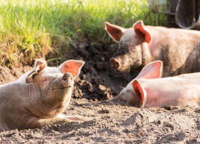 Способность свиней дышать через задний проход спасёт COVID-больных от смерти