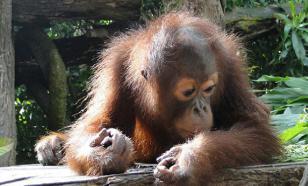 Пощечина Дарвину - обезьяны ухмыльнулись
