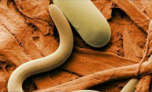 Биологи увеличили продолжительность жизни червей-нематод на 500%