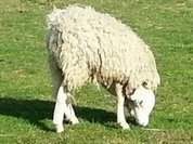 На ферме в Британии живет овца с перевернутой головой