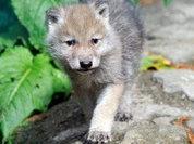 Собаки - это волки с замедленным развитием