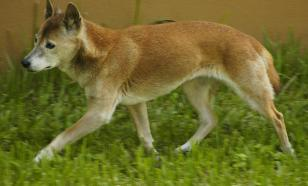 В Индонезии обнаружили певчих собак, которых считали вымершими
