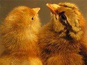 При пожаре на птицефабрике под  Новосибирском погибли 12 тысяч цыплят