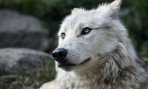 За шкуру волка в Иркутской области будут платить охотникам по 20 тысяч рублей