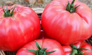 Томат Медовый: высокоурожайный сорт томатов для теплиц и открытого грунта