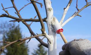 Правильно ли белить деревья весной?