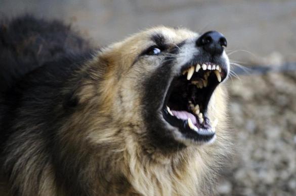 СК возбудил дело после нападения собаки на ребенка в Ленобласти