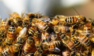 Россельхознадзор: минэкономразвития виновно в массовой гибели пчел