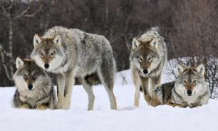 Австрийские ученые признали волков заботливее собак
