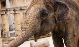 Шерсть слона не греет, а охлаждает