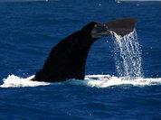 """Активисты передали в посольство Японии послание о """"китовом"""" скандале"""