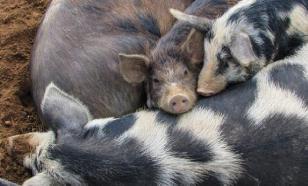 У 1,2 млн свиней из Вьетнама обнаружена неизлечимая африканская чума