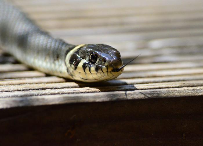 На Филиппинских островах найден новый вид роющих змей