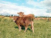Грудных младенцев вскормят... мамы-коровы