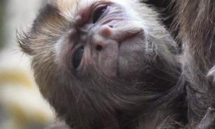 В Московском зоопарке на свет появился детеныш капуцина