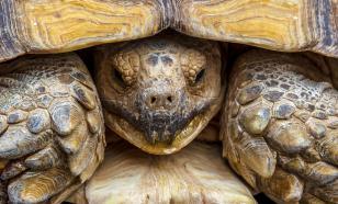 В Непале нашли редкую золотую черепаху
