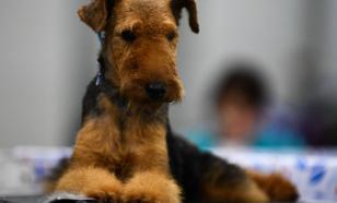 Риск развития рака костей у собак связан с размером животного