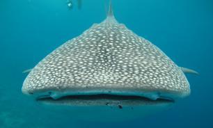 Китовая акула побаловала рыбаков своим вниманием
