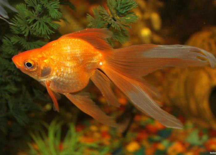 Золотая рыбка: виды аквариумных рыбок