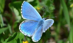 Несъедобные бабочки-медведицы не боятся хищников