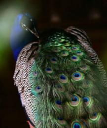 Как знакомятся птицы, выбирая себе пару?