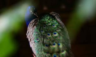 Как знакомятся птицы, выбирая пару