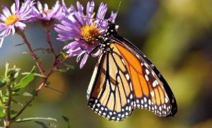 Бабочки могут передавать вкусовые предпочтения по наследству