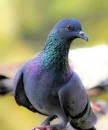 В Таиланде за кормление голубей могут посадить в тюрьму