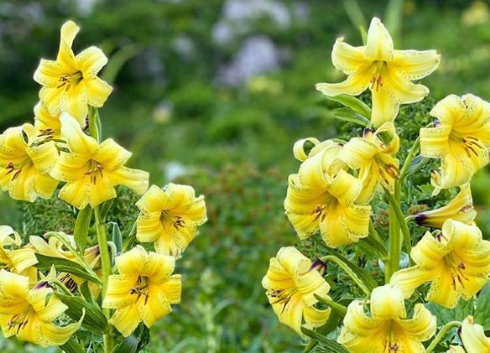 В горах Сочи зацвела лилия Кессельринга