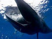 """""""Подушка безопасности"""" для синего кита"""