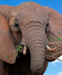 Глоток свободы: из цирка в Кемерове сбежали слоны
