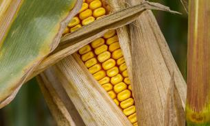 Кукуруза - дар богов человеку