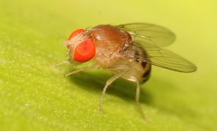 Полёт в космос сделал мух-дрозофил более активными