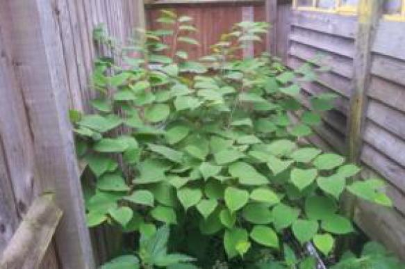 Японское растение терроризирует семью из Бирмингема