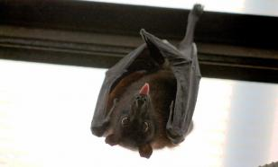 Вампировые летучие мыши способны дружить
