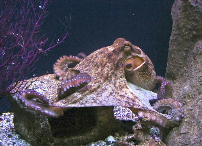 Осьминоги смогут адаптироваться к повышенному уровню кислоты в океане