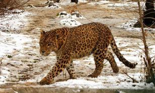 Леопард чуть не сожрал школьников в Индии
