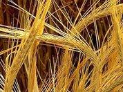 Виктор Лищенко: Заграничные семена приумножают урожай в 3-4 раза