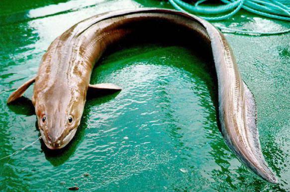 В Индии нашли рыбу, которая живет в земле