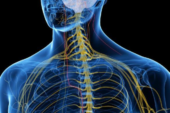 Где в организме бродит Nervus Vagus